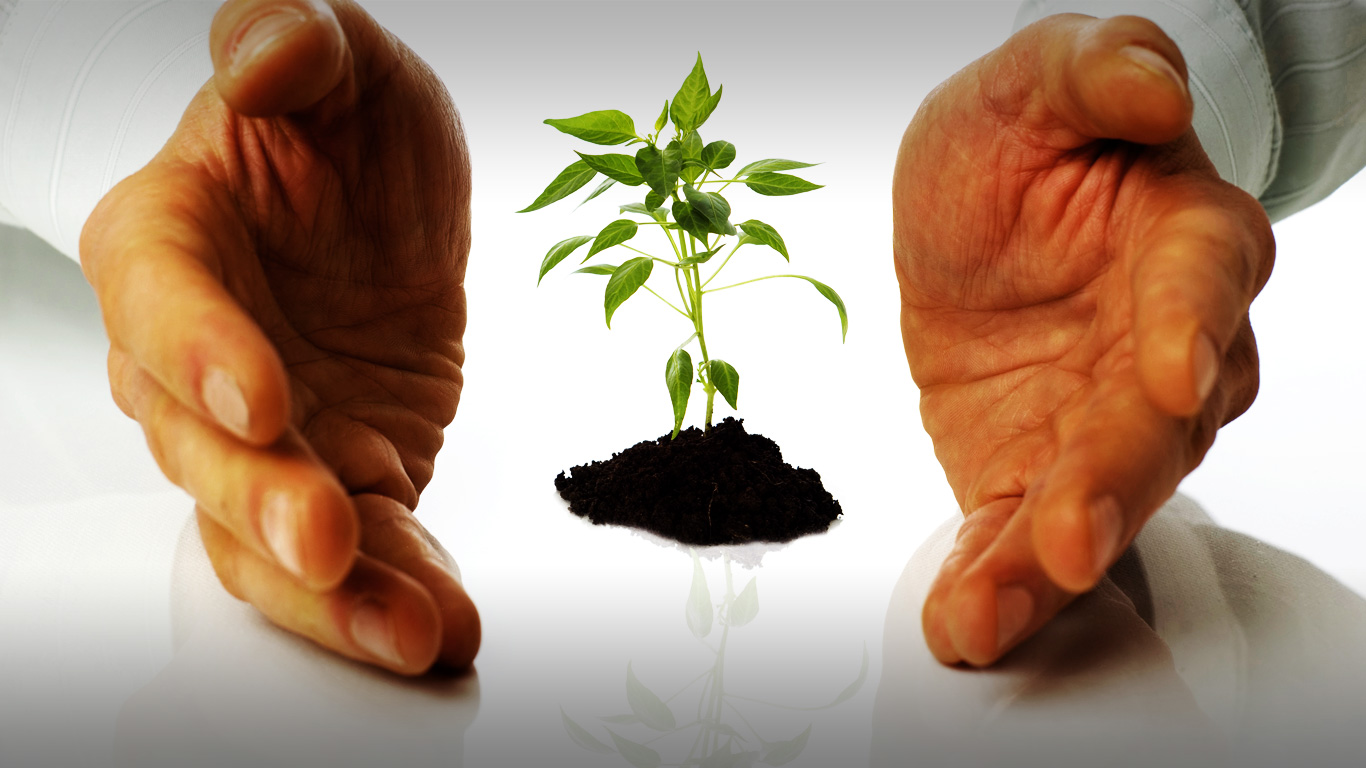 Planting rooted growth ..